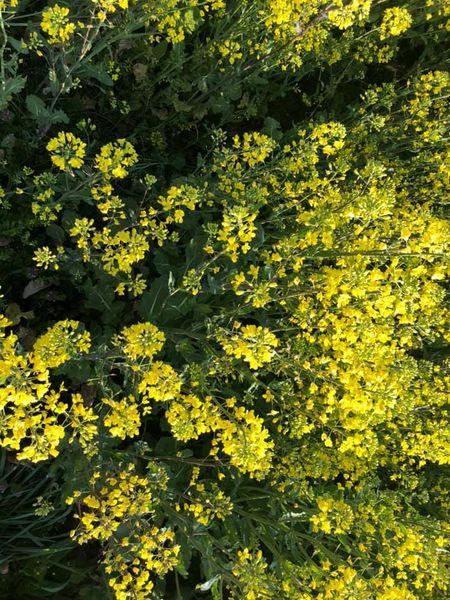 4月11日開催!菜の花まつり